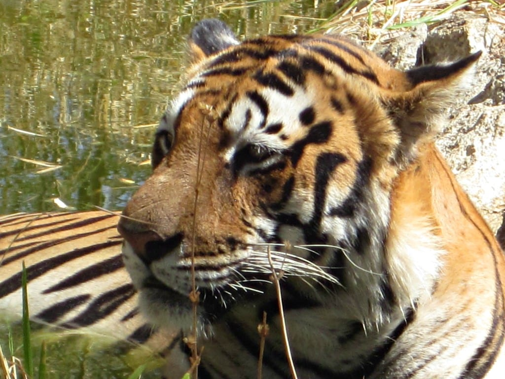 bengal tiger bannerghatta biological park
