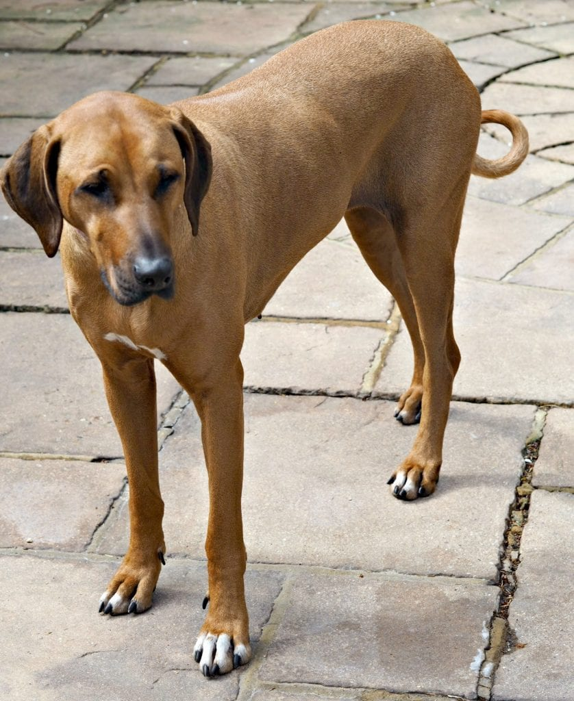 Florence at Five - Life with a Rhodesian Ridgeback