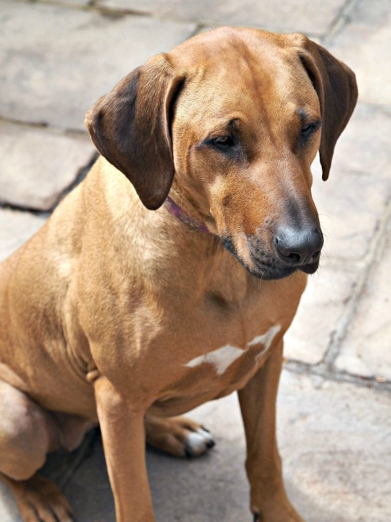 Florence at Five - Life with a Rhodesian Ridgeback - Florence sitting