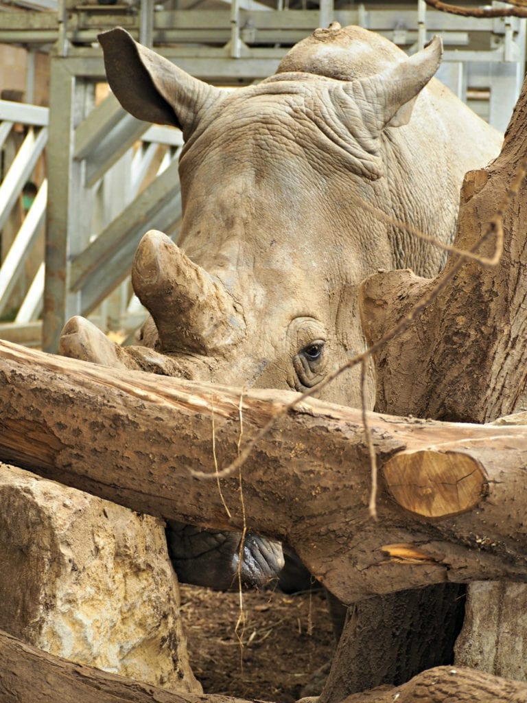 rhino at Marwell Zoo