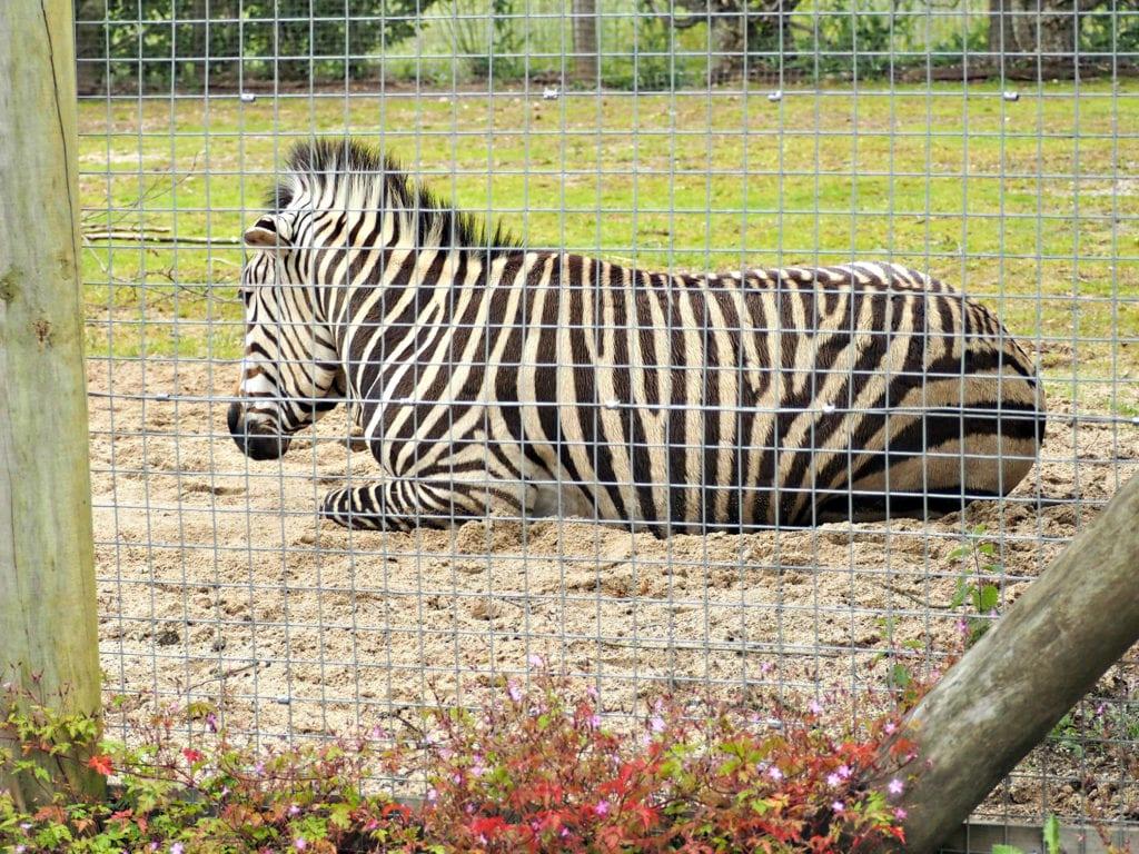 Zebra at Marwell Zoo