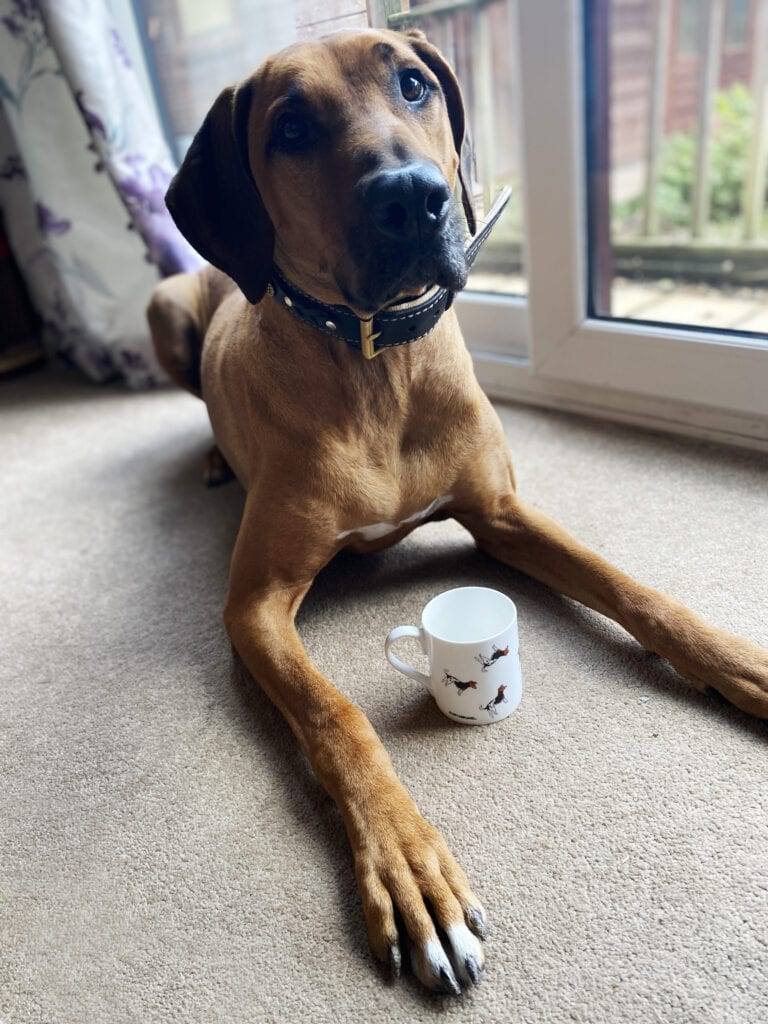 Gifts for Dog Lovers with Pup and Hound. Picture of a Rhodesian Ridgeback and a mug between her legs