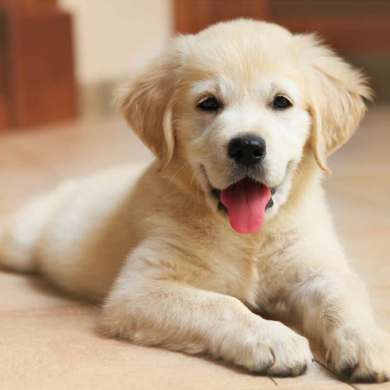 Tips for Bringing Home a Puppy