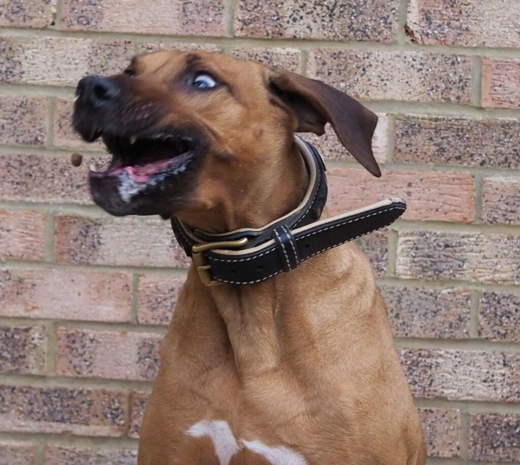 Dog Treat. Funny photo of a Rhodesian Ridgeback with her eyes crossed and her face contorted as she catches a treat in the air