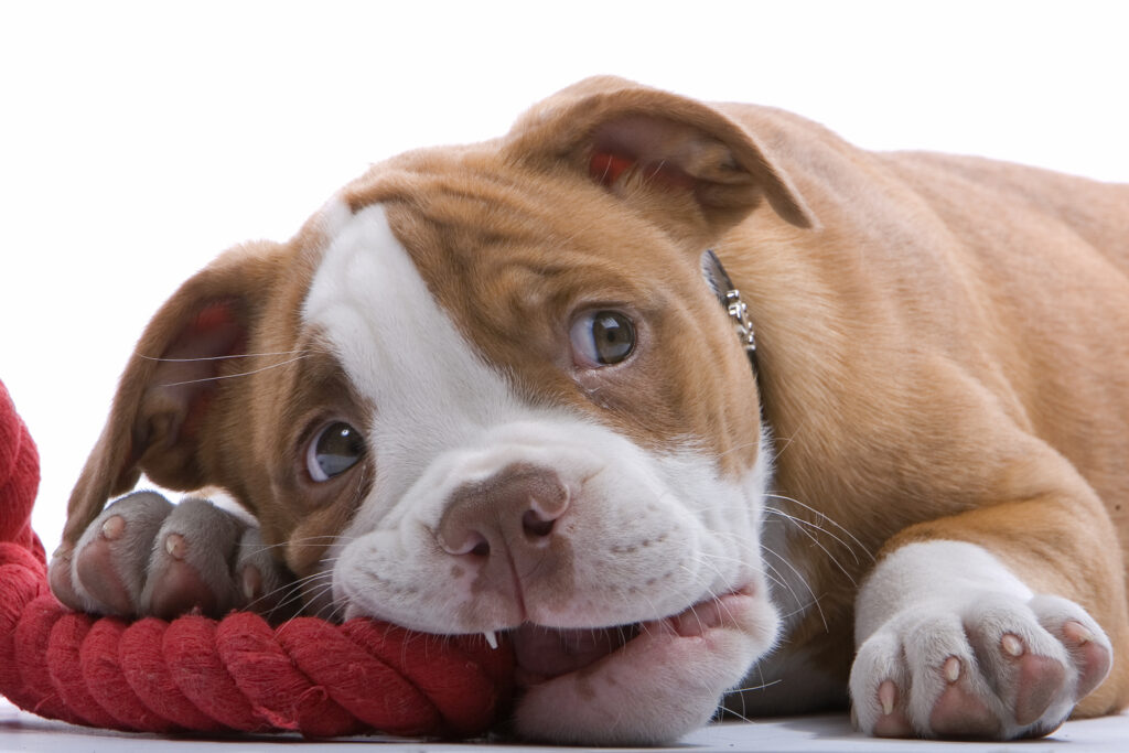 5 Tips if you're Thinking of Getting a New Dog or Puppy - Boxer puppies lying on his belly, biting a red rope and looking on up